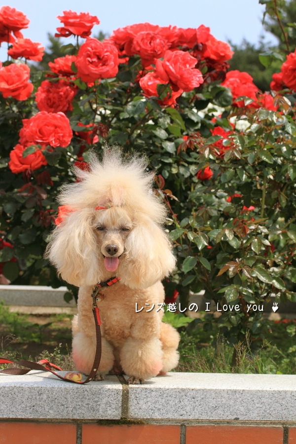 Rose Garden ♪ ~国営ひたち海浜公園~_d0367763_21081172.jpg