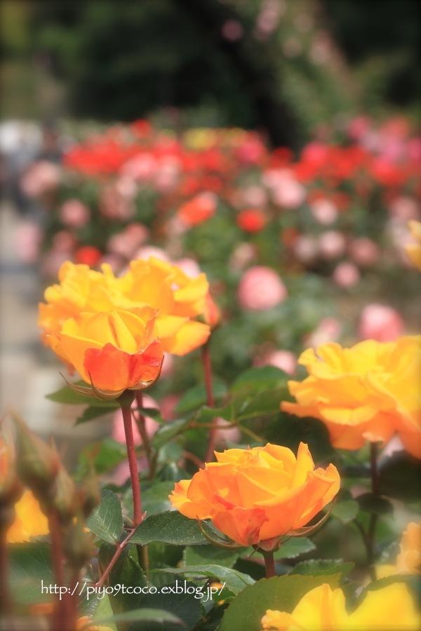 Rose Garden ♪ ~国営ひたち海浜公園~_d0367763_21081515.jpg