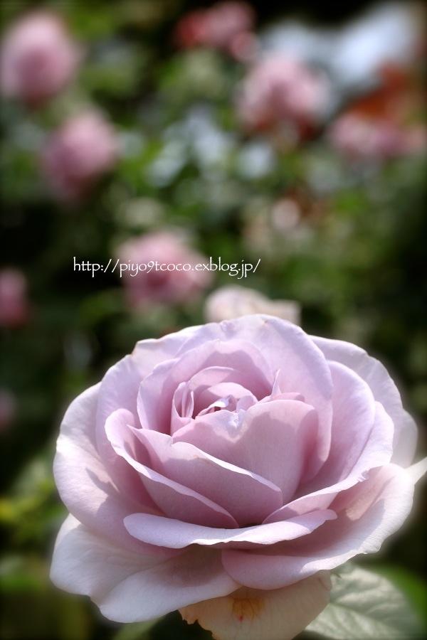 Rose Garden ♪ ~国営ひたち海浜公園~_d0367763_21081630.jpg