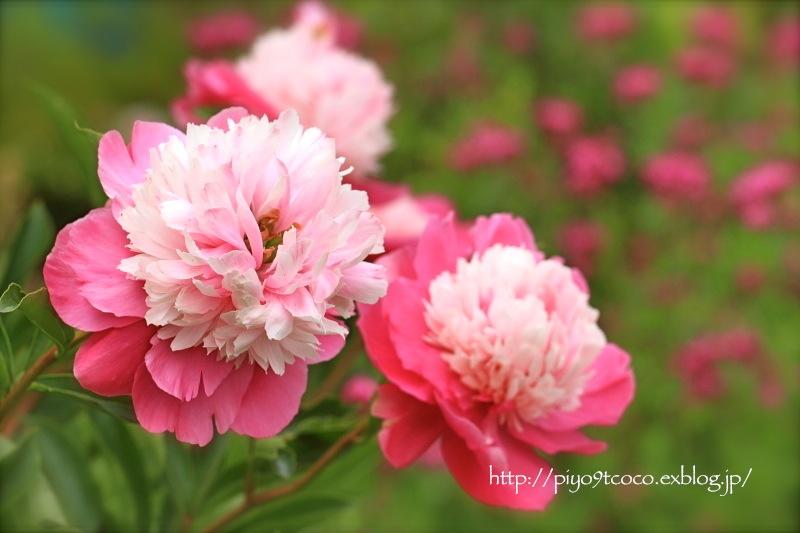 実家のお花など♪_d0367763_21082814.jpg