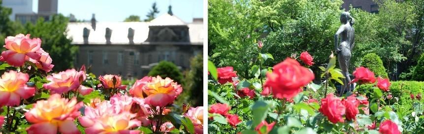 札幌市資料館前の薔薇がキレイです。_f0362073_09285978.jpg
