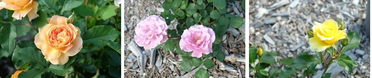 札幌市資料館前の薔薇がキレイです。_f0362073_09294279.jpg