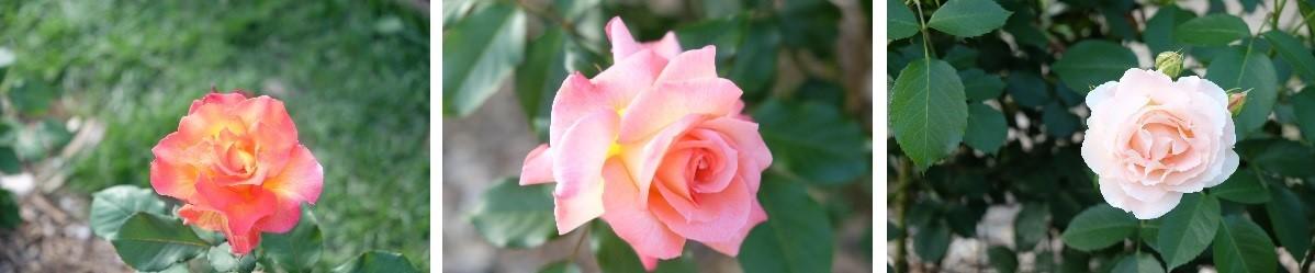 札幌市資料館前の薔薇がキレイです。_f0362073_09300247.jpg
