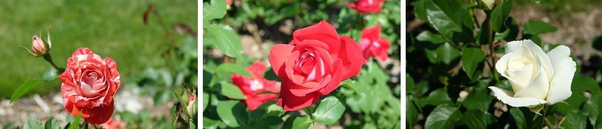 札幌市資料館前の薔薇がキレイです。_f0362073_09302490.jpg