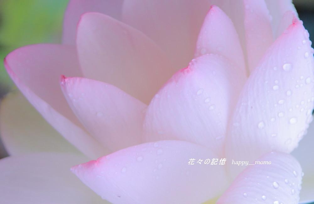 佛花・・ハス_c0357781_11521358.jpg