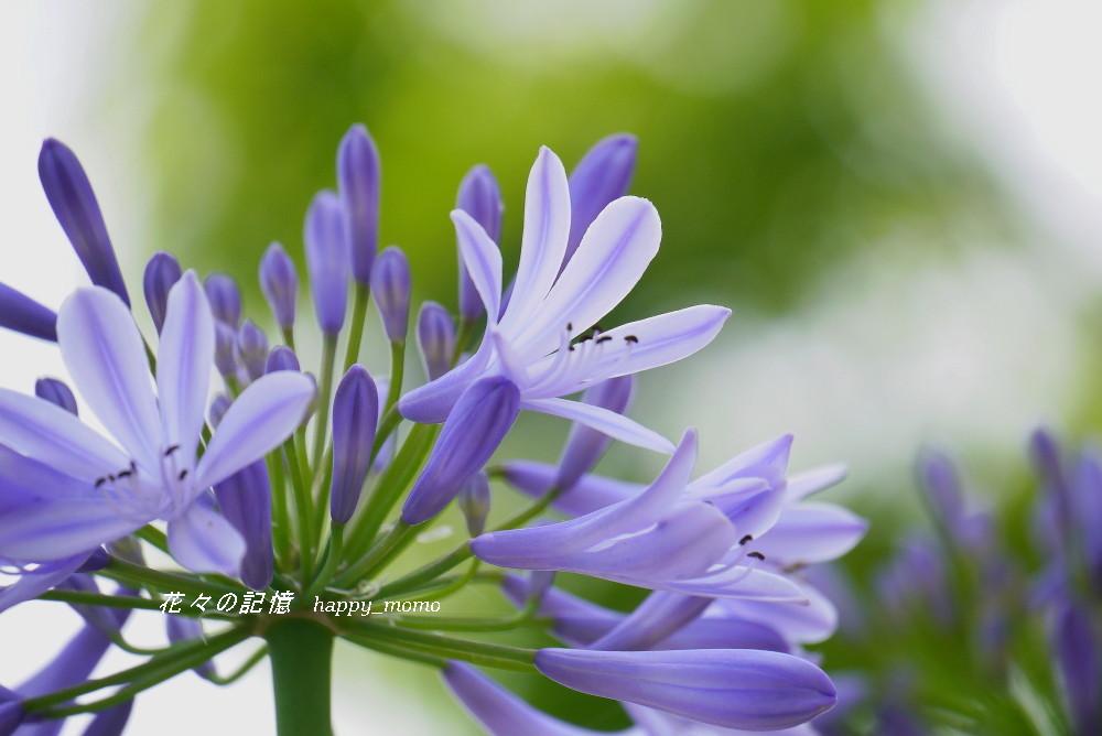 愛の花「紫君子蘭」(アガバンサス)_c0357781_19190345.jpg