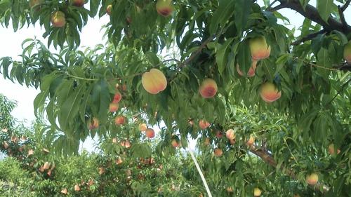 我が家 古屋農園の桃の生育_f0325525_2423554.jpg