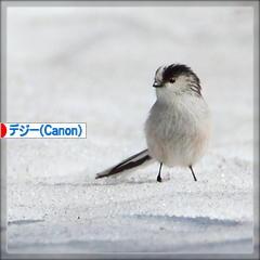 エナガしゃんの舞♪_d0367763_17551954.jpg