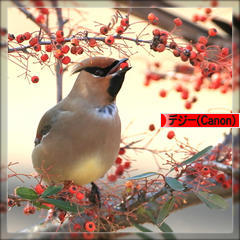 Japanese Waxwing * ヒレンジャク * 緋連雀 ♪_d0367763_19453727.jpg