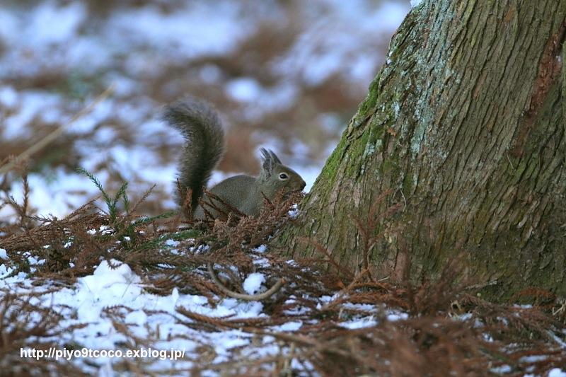 Japanese Squirrel * ニホンリス * 日本栗鼠 ♪_d0367763_20551828.jpg