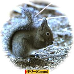 Japanese Squirrel * ニホンリス * 日本栗鼠 ♪_d0367763_20551885.jpg