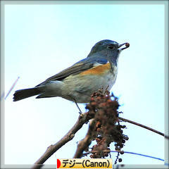 Red-flanked bluetail * ルリビタキ * 瑠璃鶲 ♪_d0367763_20553510.jpg
