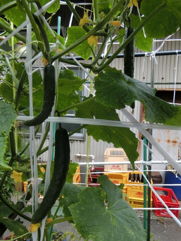 6月22日(木)胡瓜の収穫です_d0278912_22051327.jpg