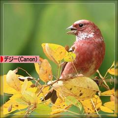 オオマシコ♪_d0367763_20364492.jpg