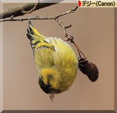マヒワ*秋色♪_d0367763_22350880.jpg