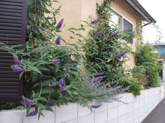 ブットレアとスカビオサの渋目の色が開花しています_a0243064_23244959.jpg