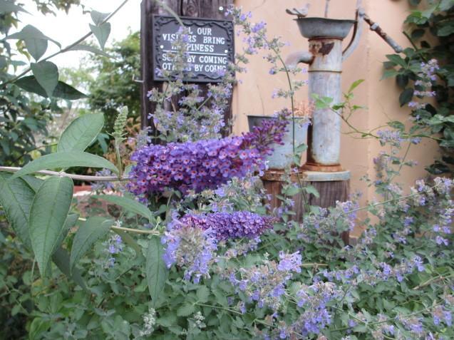 ブットレアとスカビオサの渋目の色が開花しています_a0243064_23251333.jpg