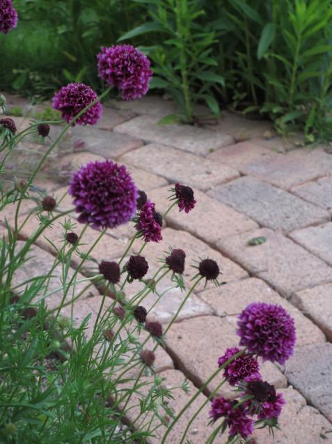 ブットレアとスカビオサの渋目の色が開花しています_a0243064_23384553.jpg