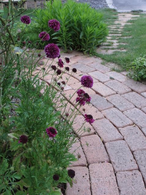 ブットレアとスカビオサの渋目の色が開花しています_a0243064_23393284.jpg