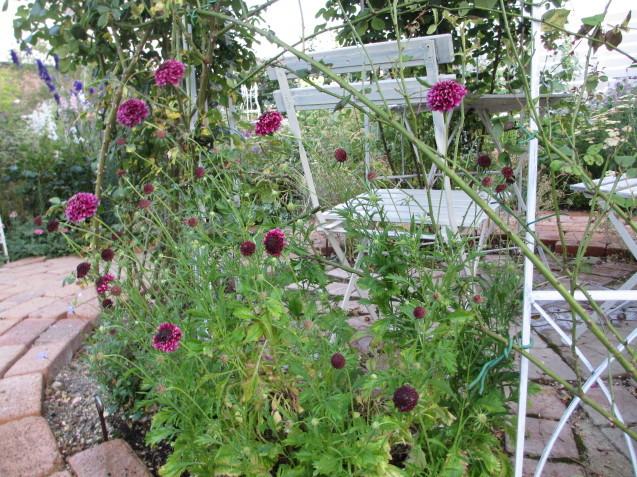 ブットレアとスカビオサの渋目の色が開花しています_a0243064_23401685.jpg