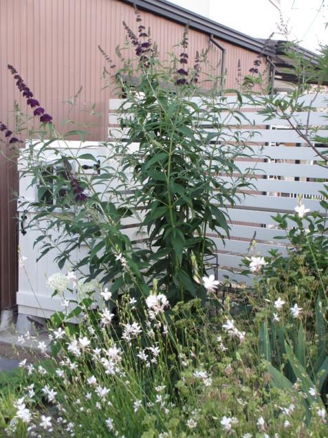 ブットレアとスカビオサの渋目の色が開花しています_a0243064_23415787.jpg