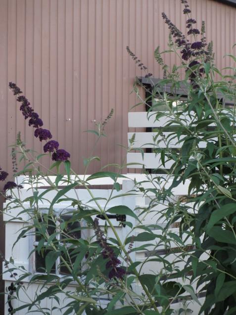 ブットレアとスカビオサの渋目の色が開花しています_a0243064_23421991.jpg