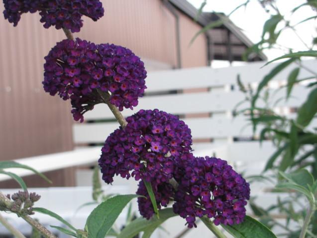 ブットレアとスカビオサの渋目の色が開花しています_a0243064_23425608.jpg
