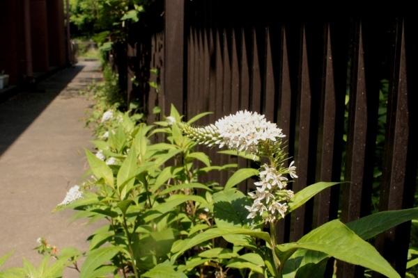 初夏の花が咲き始めました_d0121678_13183346.jpg