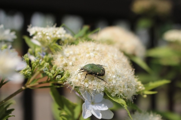 初夏の花が咲き始めました_d0121678_13205241.jpg