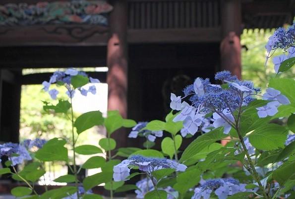 鎌倉 妙本寺 紫陽花_f0374092_18185463.jpg