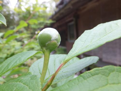 梅雨の儚い花_d0336460_09590851.jpg
