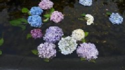 アジサイが彩を添える久安寺の池でした。_c0133422_21525876.jpg