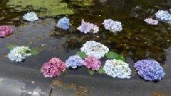 アジサイが彩を添える久安寺の池でした。_c0133422_2155314.jpg
