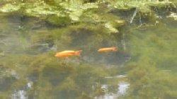 アジサイが彩を添える久安寺の池でした。_c0133422_221335.jpg