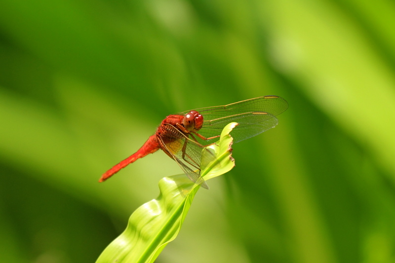 猩々蜻蛉 * ショウジョウトンボ♪_d0367763_23570824.jpg