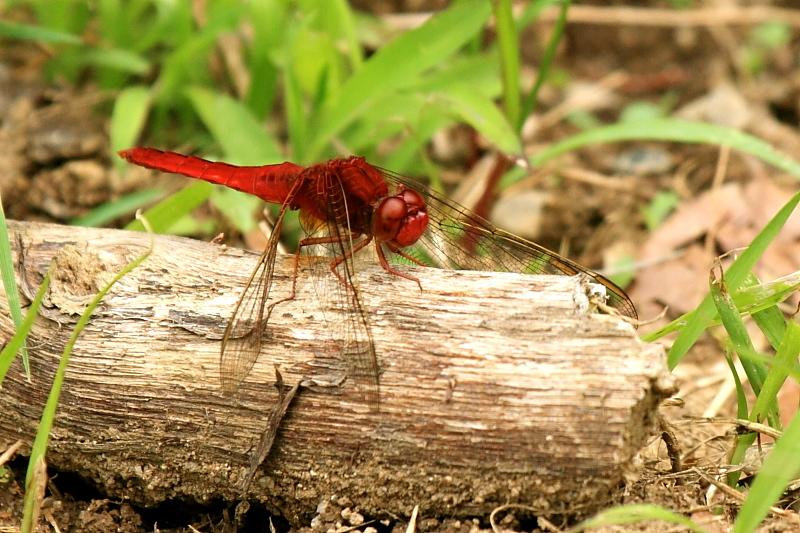 猩々蜻蛉 * ショウジョウトンボ♪_d0367763_23571223.jpg