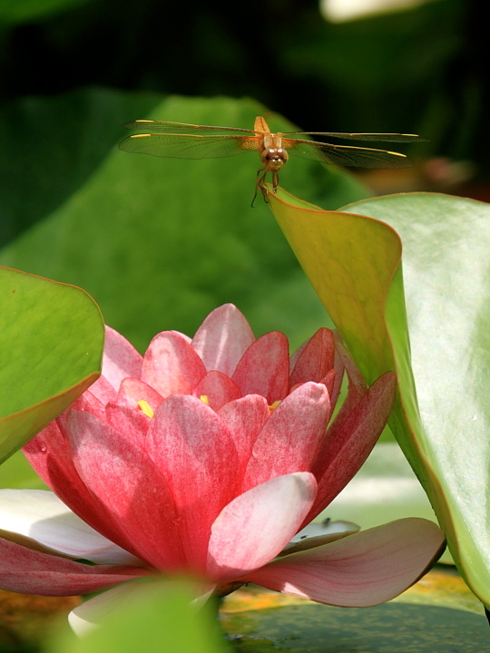 猩々蜻蛉 * ショウジョウトンボ♪_d0367763_23571468.jpg