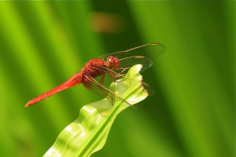 猩々蜻蛉 * ショウジョウトンボ♪_d0367763_23571843.jpg