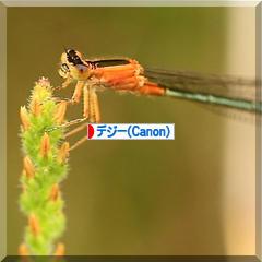 猩々蜻蛉 * ショウジョウトンボ♪_d0367763_23571854.jpg
