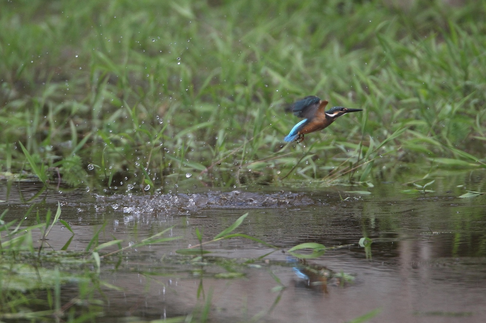 Today`s  kingFisher_c0247982_20414832.jpg