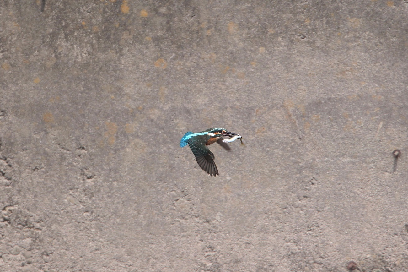 Today`s  kingFisher_c0247982_21145803.jpg