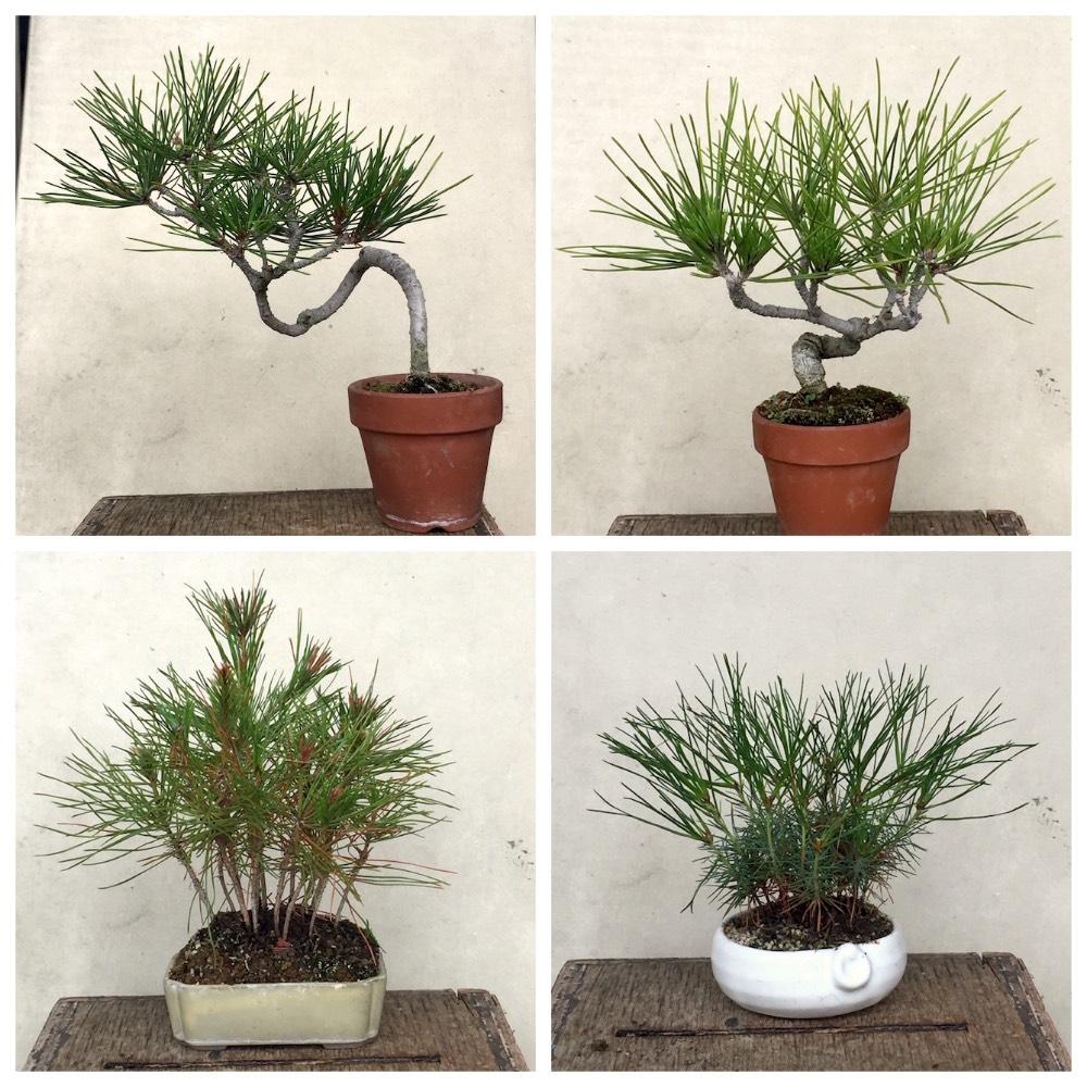 実生松 - 節約ミニ盆栽記