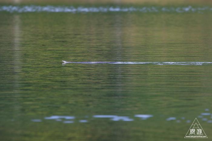 598 羽高湖 ~湖を泳ぐカラスヘビ~_c0211532_18354866.jpg