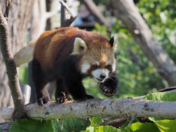 ココたん祭(1日遅れ) - レッサーパンダとKOOL