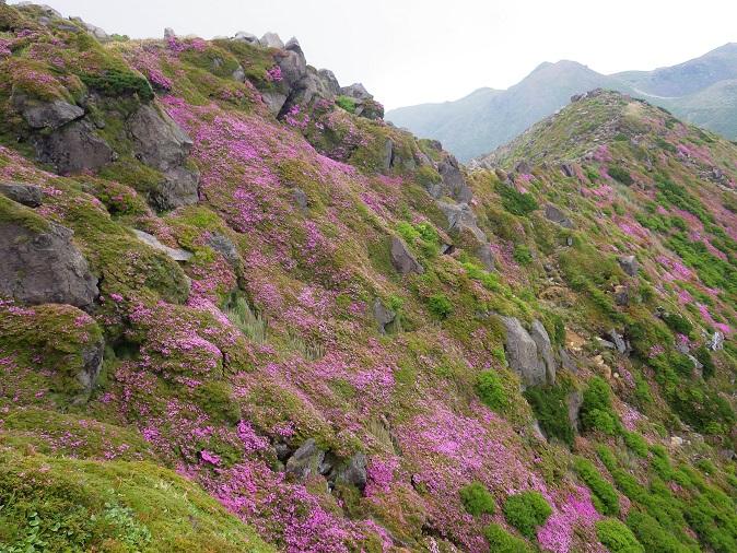 星生山へ最後のミヤマキリシマ_e0164643_12534888.jpg