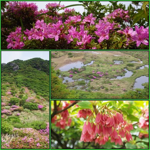 星生山へ最後のミヤマキリシマ_e0164643_13184246.jpg