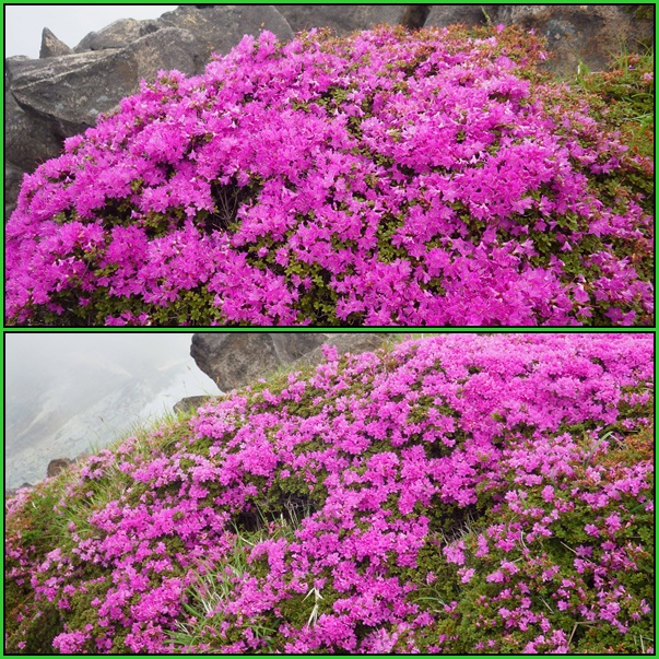 星生山へ最後のミヤマキリシマ_e0164643_1328593.jpg