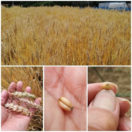 小麦(ゆめのかおり)_c0063348_07415416.jpg