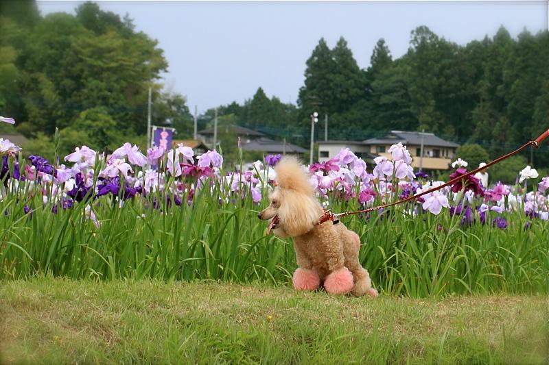 coco と菖蒲園♪_d0367763_00072414.jpg