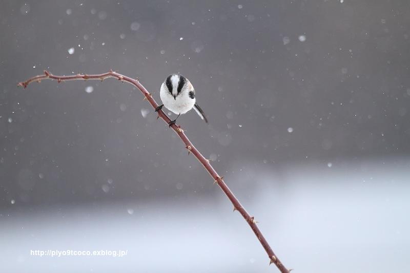 雪*エナガ♪_d0367763_16551330.jpg